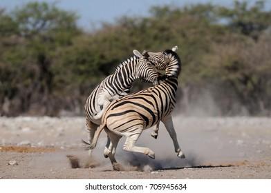 Burchell's zebras are fighting, etosha nationalpark, namibia, equus burchelli)