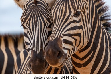Burchell's Zebras standing very close to each other for the photo.