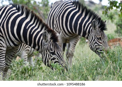 Burchels zebras,Kruger National park,South Africa
