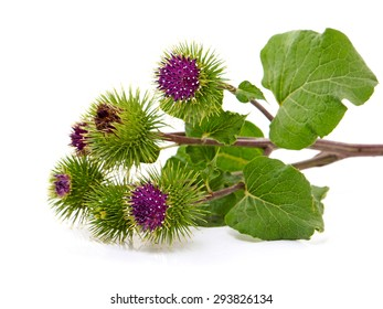 Burdock (Arctium lappa ) also called Greater Burdock, Edible Burdoc, Lappa or Beggar's buttons