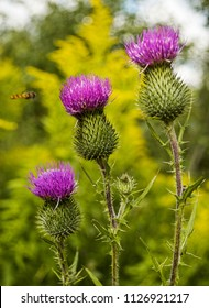 Burdock blooms. Large herbaceous old world plant of the daisy family