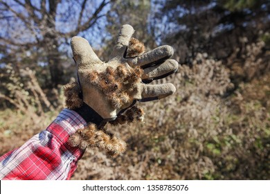 Burdock burrs stuck on work glove outdoors