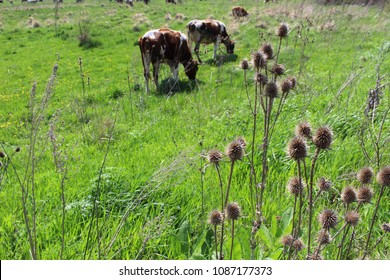 burdock and cows on the pasture