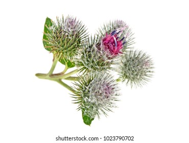 Burdock flower isolated on white background