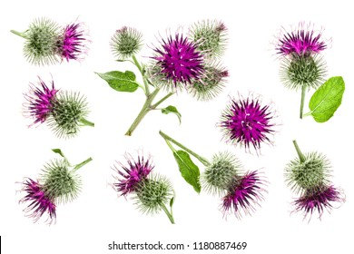 Burdock flower isolated on white background. Medicinal plant: Arctium. Top view. Flat lay pattern