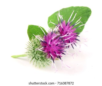 Burdock flower isolated on white background. Medicinal plant: Arctium