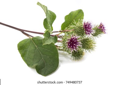 Burdock flowers isolated on a white background