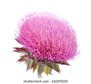 burdock flowers on a white background