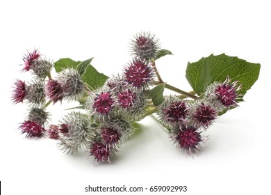 Burdock flowers on white background