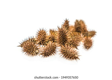 Burdock seeds of sticky plants that stick to dogs and clothes, close-up macro shot