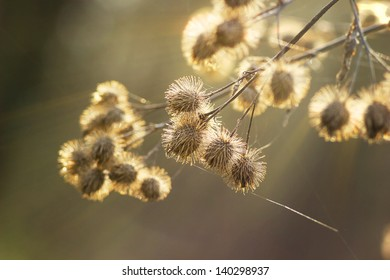burdock sunlight Arctium lappa bur dry noodle web at dawn of spring