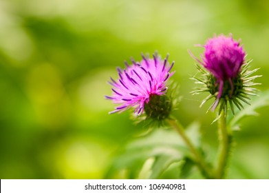 Burdock thorny flower. (Arctium lappa) on green blur background
