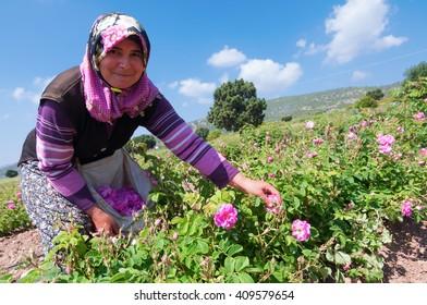"Burdur, Turkey - May 16. 2014: Rose Harvest. ""SEASONAL AGRICULTURAL WORKERS AT THE ROSE HARVEST"""