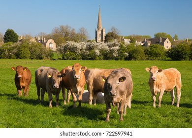 BURFORD, THE COTSWOLDS, OXFORDSHIRE, ENGLAND - APRIL 23, 2017: Cows standing looking at camera in grass meadow in spring in front of Cotswold village of Burford with spire of Burford church