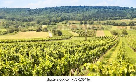 Burgenland, Austria - wine growing region. Vineyard in summer.