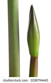 Burgeon Hippeastrum sp. Amaryllidaceae