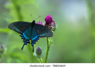 the burgeoning colors near water bodies in Primorsky Krai of Russia are often spotted swallowtail