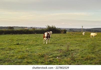 The burgundian cows at pasture