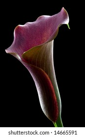 burgundy Calla Lily with black background
