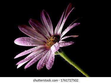 Burgundy gerbera daisy, on a black background, illuminated by the light of the moon