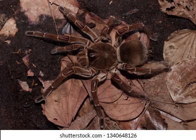 Burgundy Goliath Bird Eater (Theraphosa stirmi) Theraphosa Tarantula are World Biggest Spider species