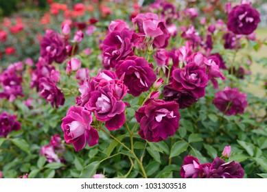 Burgundy Iceberg Rose - close up photo