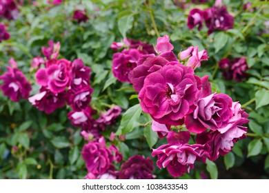 Burgundy Iceberg rose flowers in the garden - close up