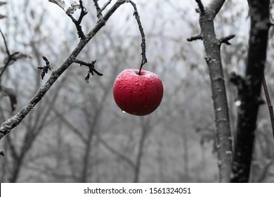 Burgundy red apple on the tree branch in the late autumn. Black-and-white image with a bold splash of color highlighting part of the scene. Apple of temptation. Symbol of sin. Snow white tale.