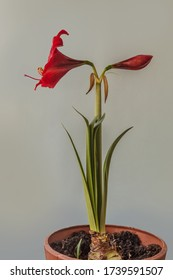 Burgundy red hippeastrum (amaryllis)   on a gray background