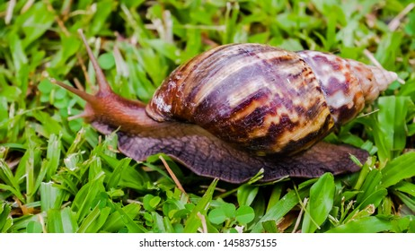 Burgundy snail, edible snail or escargot, is a species of large, edible, air-breathing land snail, a terrestrial pulmonate gastropod molluscs in the family Helicidae