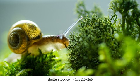 Burgundy snail helix escargot in natural environment moss macro. Edible snail on green grass and mold growing on land surface. Nature life concept - Shutterstock ID 1751157266