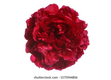 Burgundy terry peony flower isolated on white background.
