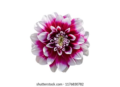 Burgundy and white dahlia flower isolated on white background
