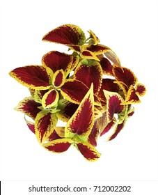 The burgundy with yellow coleus on white background