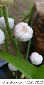 Burhead, Texas mud baby, Double Flowering Arrowhead, Japanese Arrowhead.
