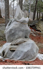 A burlap wrapped cedar shrub is protected from the cold Canadian winters and also from animals feeding during the cold months.
