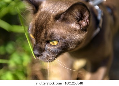 Burma cat with leash walking outside, close view of face of collared young brown cat wandering outdoor adventure and sniffing plants. Burmese cat wearing harness in summer. Pet closeup in park. - Shutterstock ID 1801258348
