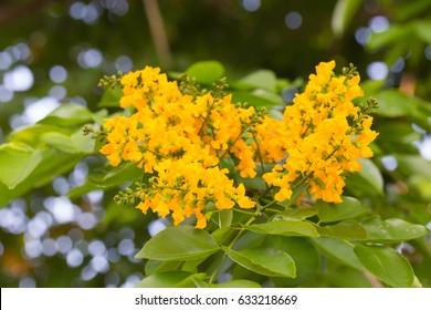 Burma padauk blooming on tree, yellow flowers