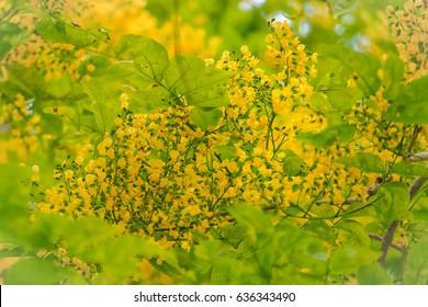 burma padauk, narra, angsana norra, malay padauk, burmese rosewood blooming on tree, yellow flowers.