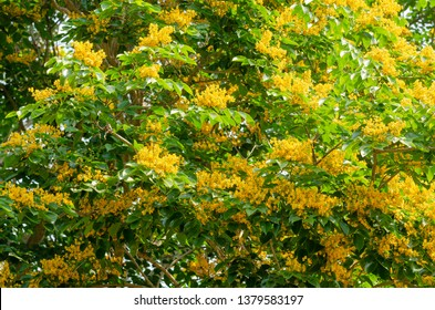 Burma padauk or Pterocarpus macrocarpus flower tree