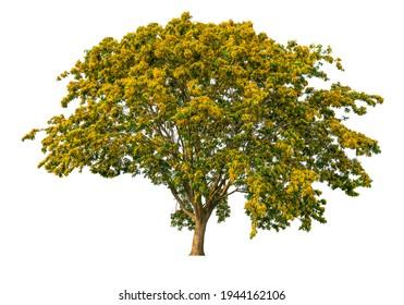 Burma Padauk tree (Pterocarpus indicus Willd) with yellow blooming flower, Burma Padauk tree isolated on white background with clipping path