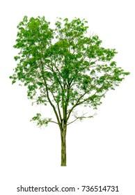 Burma padauk tree or  Pterocarpus  tree isolated on white background.