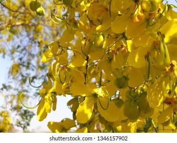Burma padauk Yellow Flowers