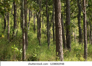 Burma Sal or Siamese Sal or Thitya in the forests at Khlong Lan National Park Kamphaeng Phet Thailand.