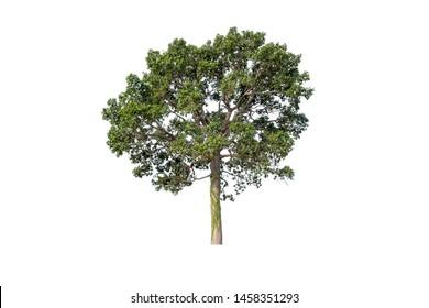 Burma Sal or Siamese Sal Tree isolated on white background.