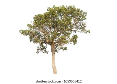 Burma sal tree isolated on white background.The other name is Siamese sal or Thitya.Can see at dry dipterocarp forest in Thailand.Image was adapt to decor on website,artwork,wallpaper or wallpaper.