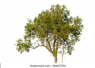 Burma Sal Tree isolated on a white background.