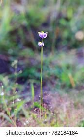 Burmannia disticha L. flower grass in forest