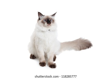 Burmese breed cat on a white background