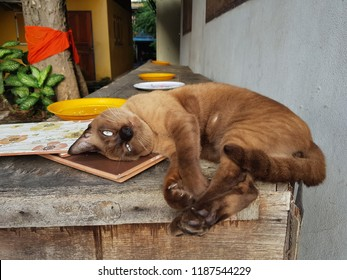 Burmese cat is abreedof domesticcat, believed to have it's roots near the present Thai-Burma(Myanmar) border and developed in the United States and Britain. This cat found at one temple in BKK, TH.